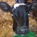 Calf at Lovö dairy farm.